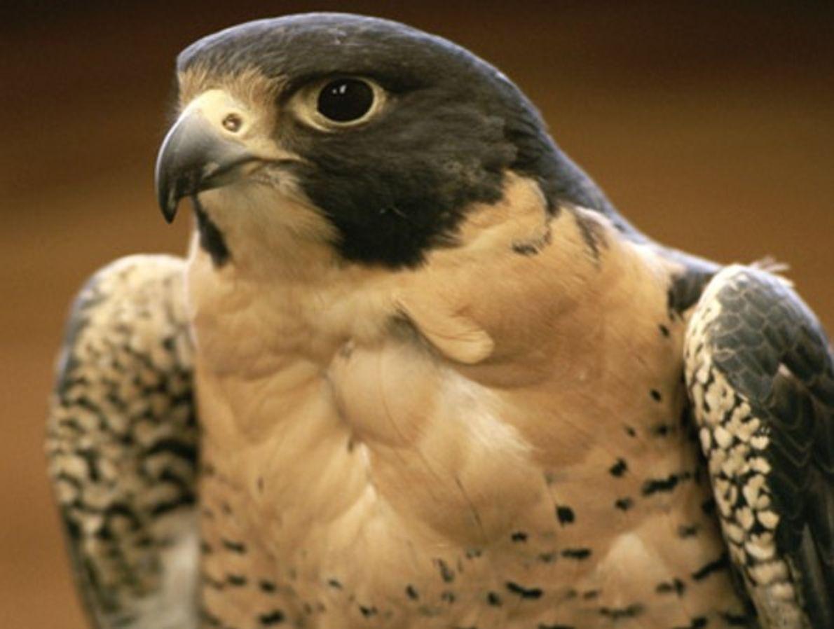 Las poblaciones de halcones peregrinos norteamericanos, en su da una especie en peligro en Estados Unidos, …