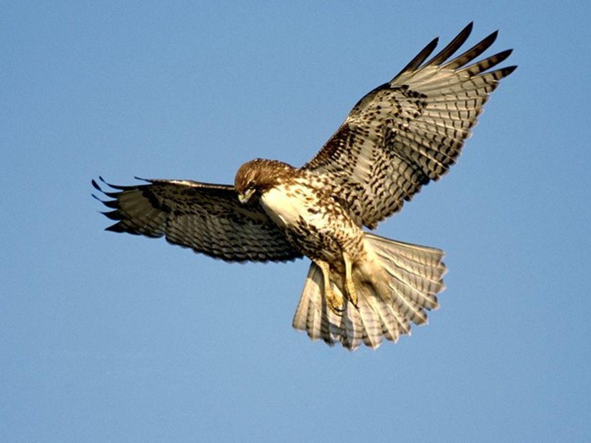 El halcón más común en América del Norte, el halcón de cola roja, a menudo se …