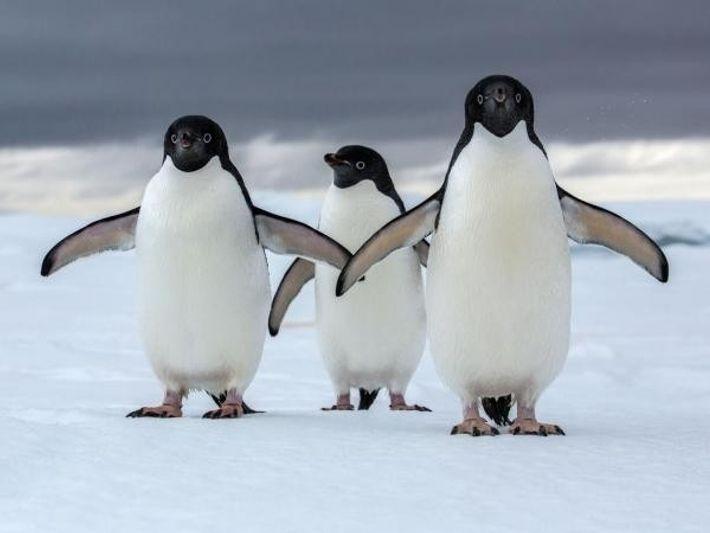 Los pingüinos Adelaida son una de las dos especies de auténticos pingüinos de la Antártida, y ...