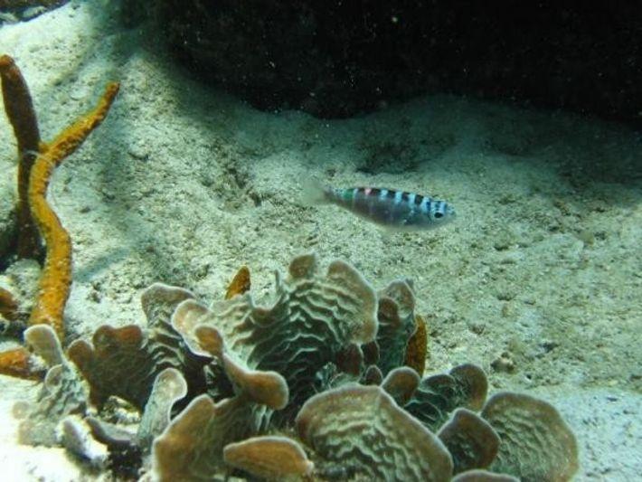 Un serrano pálido explora un arrecife de coral cerca del Instituto Smithsoniano de Investigaciones Tropicales en ...