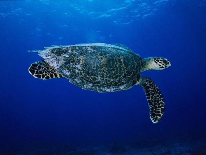Las tortugas carey se encuentran amenazadas por la caza, la venta ilegal de sus caparazones y ...