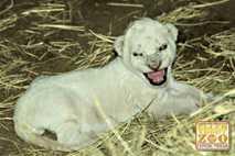 Primera foto del cachorro de león albino en cautividad.