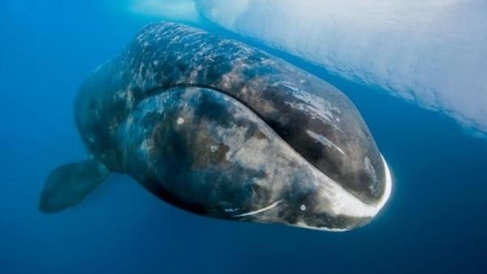 Una ballena boreal nadando en las gélidas aguas del estrecho de Lancaster (Canadá). ¿Adivinas cuánto puede ...