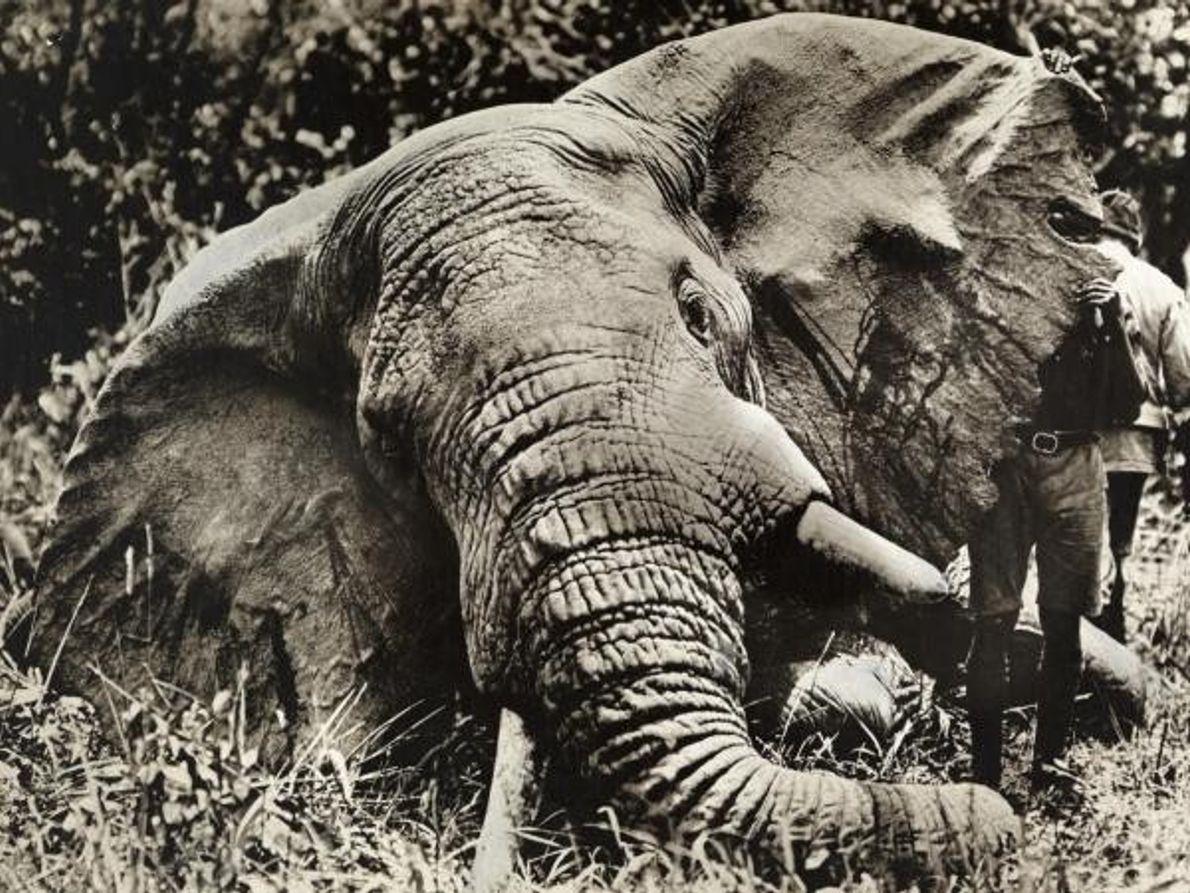 Tristes noticias para los elefantes