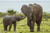 Fotografía de una cría de elefante junto a su madre en la reserva de Masai Mara, ...