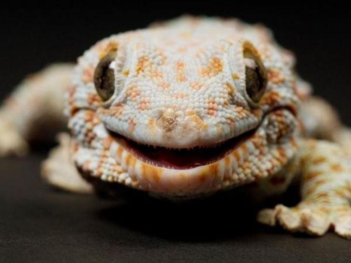 Un gecko tokay sonríe ante la cámara en el Zoo Sunset en Manhattan (Kansas)