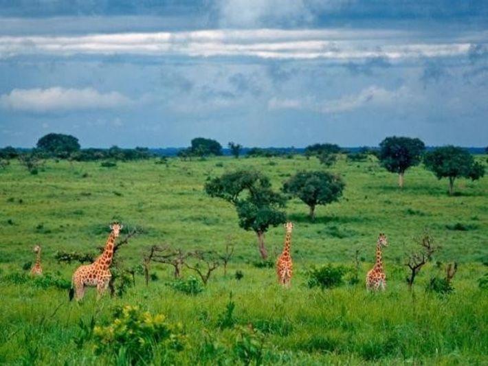 Un grupo de 4 jirafas de Kordofán, especie muy extraña, vagan por el parque de Garamba, ...