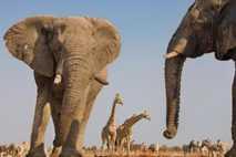 Elefantes en el parque nacional de Etosha, en Namibia, uno de los dos países que quiere ...