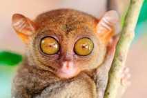 Los tarseros, unos diminutos primates nocturnos del sureste asiático, tienen unos ojos enormes respecto al tamaño ...