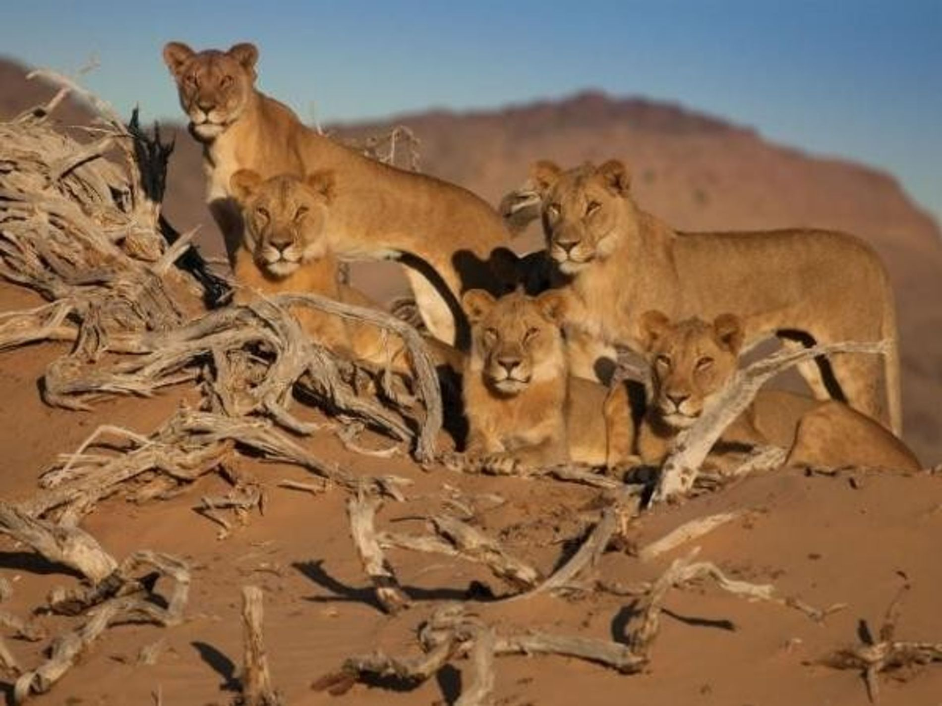Cinco leones del desierto contemplan el paisaje de Namibia. Tres de los leones, que aparecieron en ...
