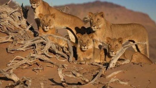 Tres leones del desierto de Namib mueren envenenados