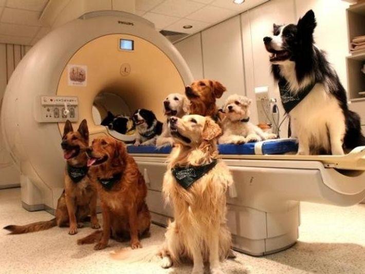 Ha llevado meses entrenar a los perros que participaron en el estudio para que se mantuvieran ...