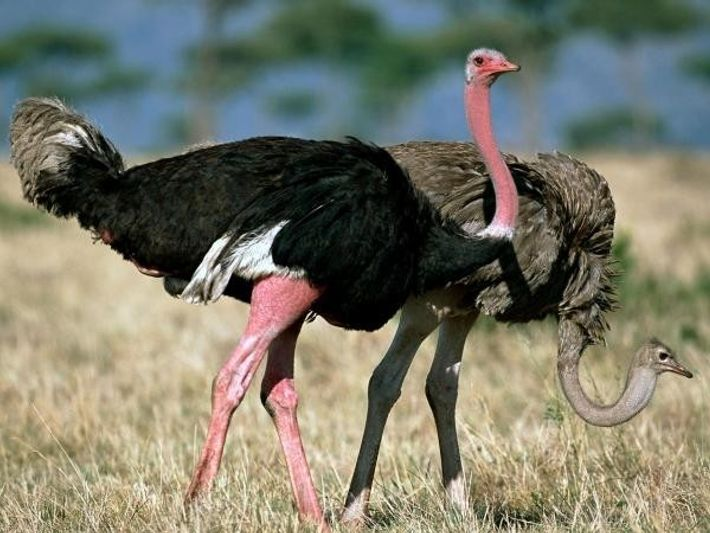 Un avestruz macho y una hembra cortejándose en la Reserva Nacional de Masai Mara (Kenia)