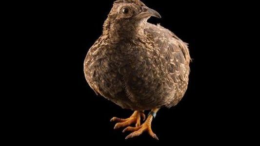 Las especies de aves no voladoras