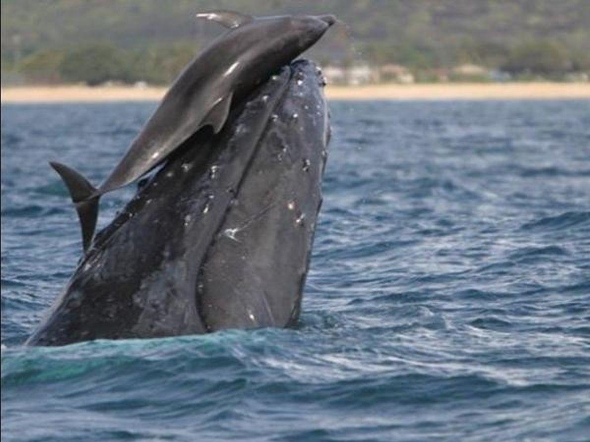Delfín sobre ballena