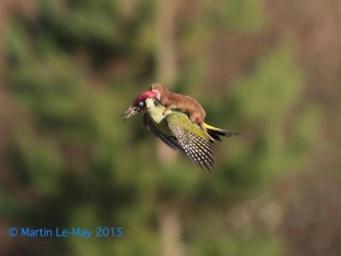 Comadreja sobre pájaro carpintero