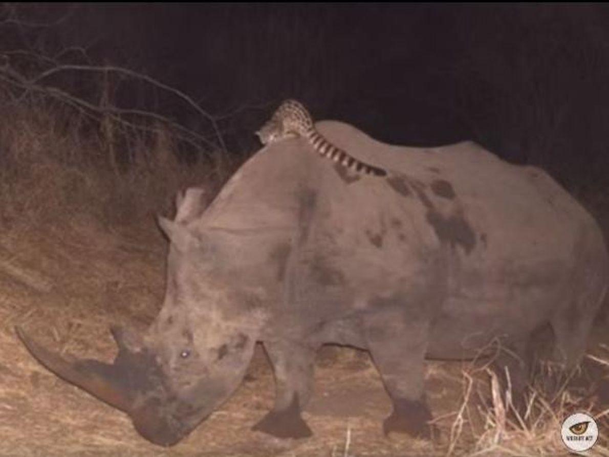 Jineta sobre rinoceronte