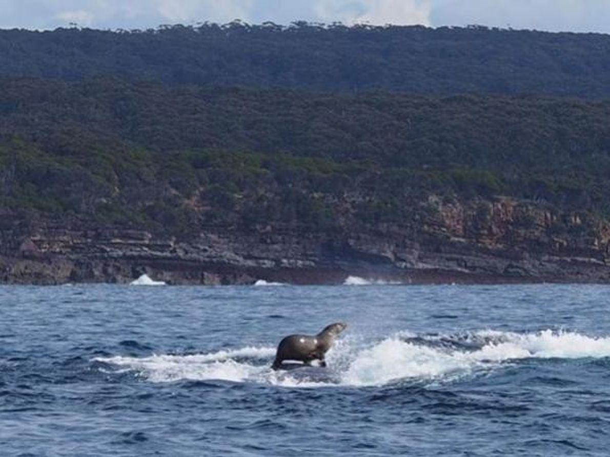 Foca sobre ballena