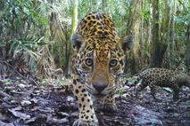 Jaguar mirando a la cámara.