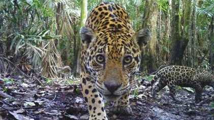 Los jaguares, en peligro de extinción en México