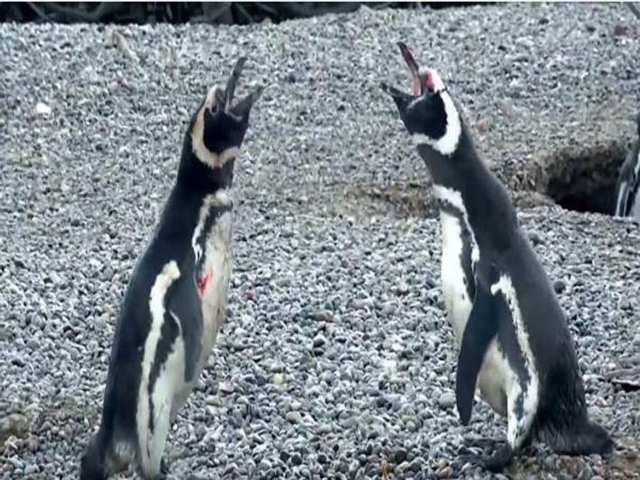 Combate entre pingüinos macho