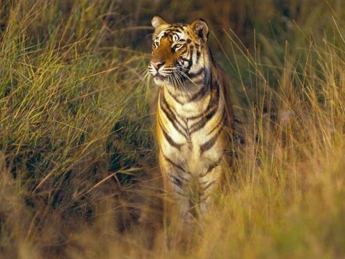 Parques Nacionales con Tigres – India