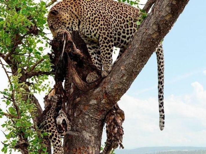 Un leopardo arrastra el cuerpo de otro ejemplar a lo alto de un árbol