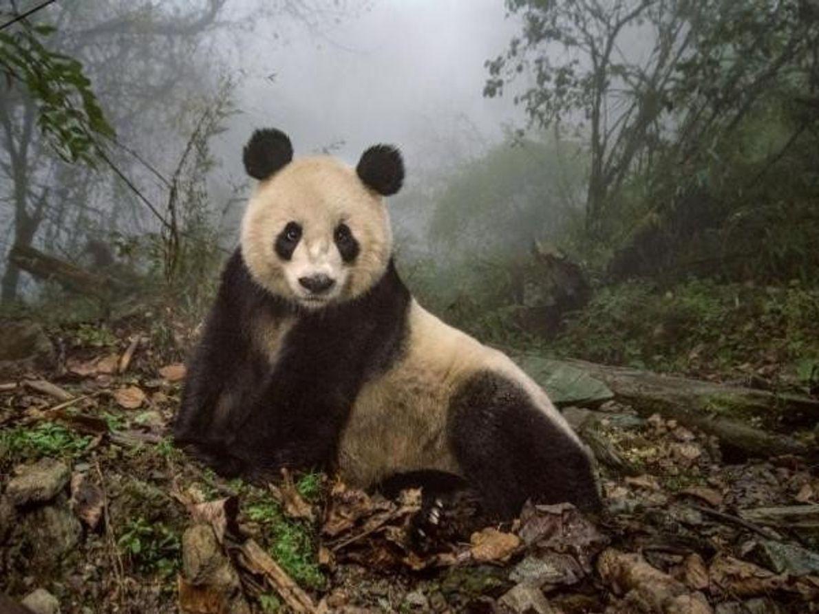 El panda Ye Ye