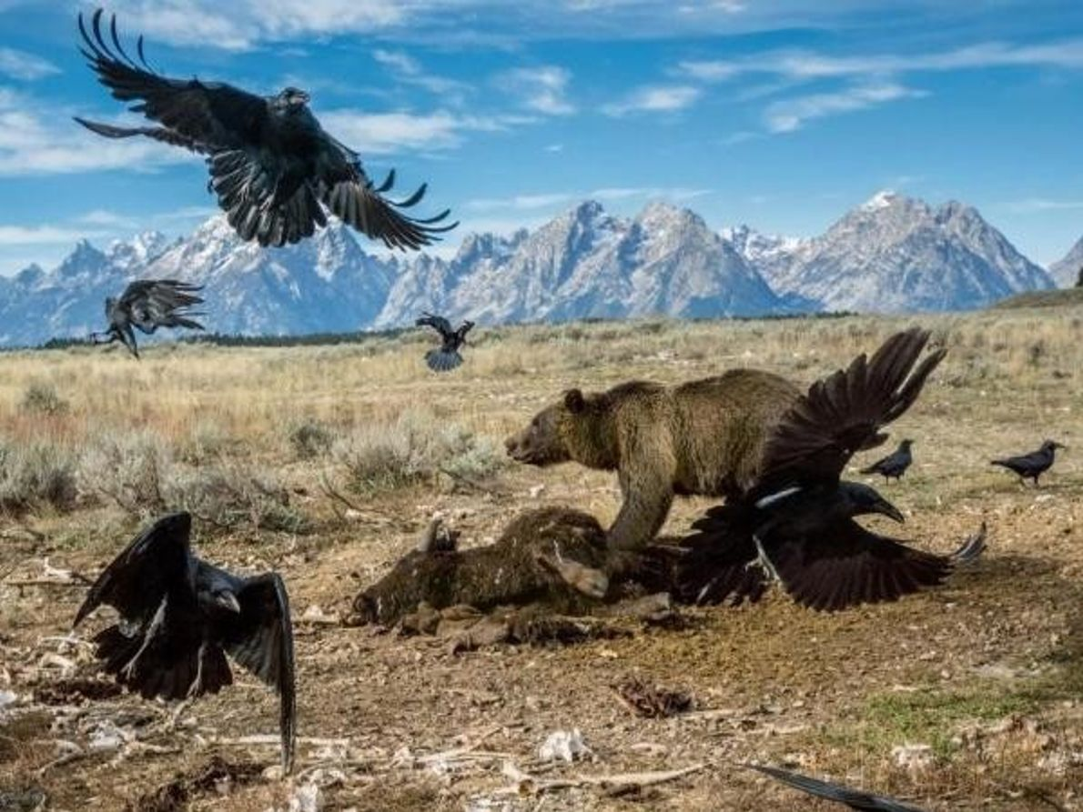 Osos grizzly en Yellowstone