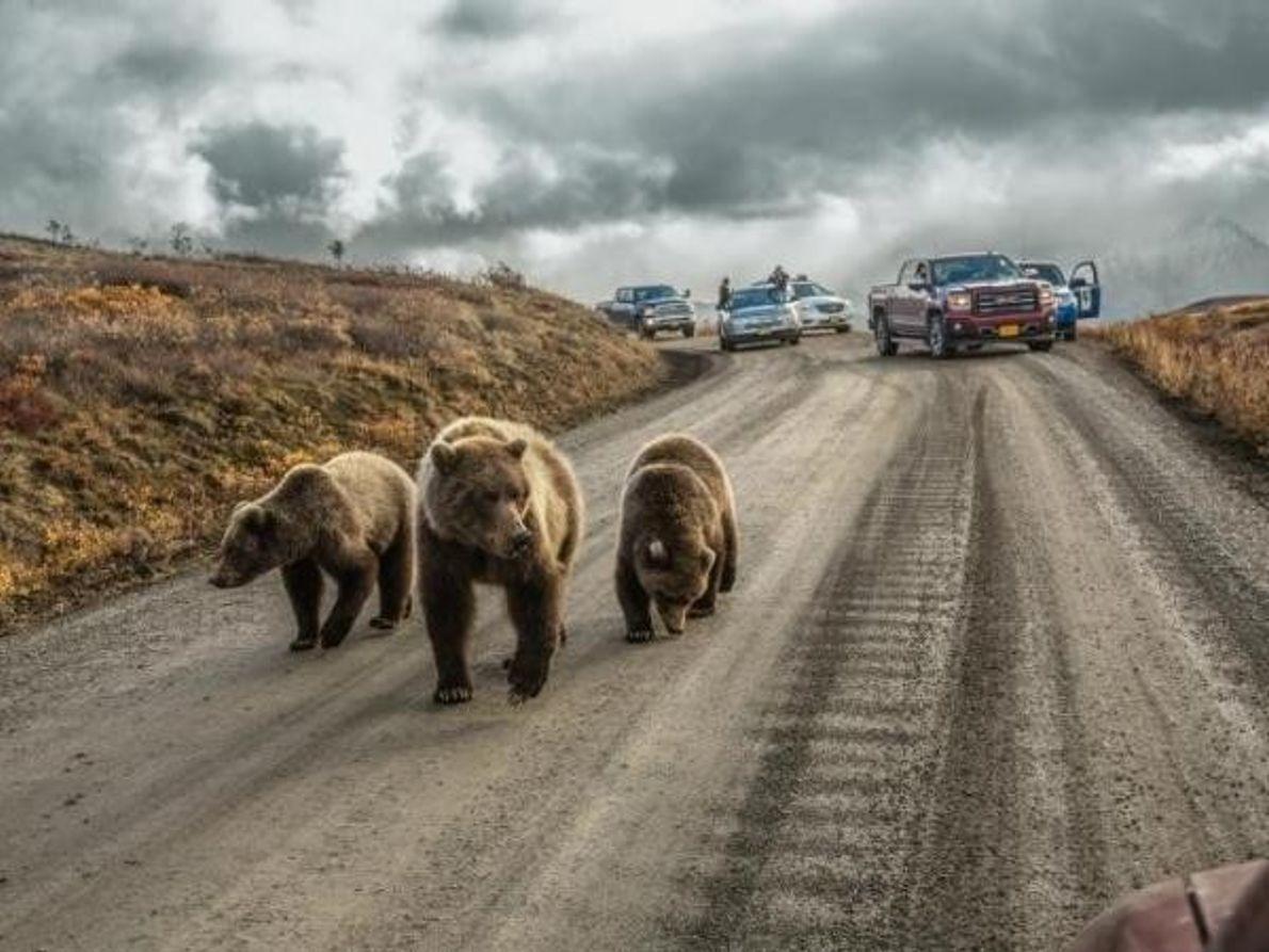 Osos grizzly provocan un atasco