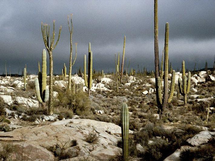 Desierto de cardones y cirios