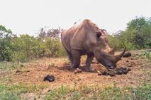 Rinoceronte blanco oliendo heces en Sudáfrica