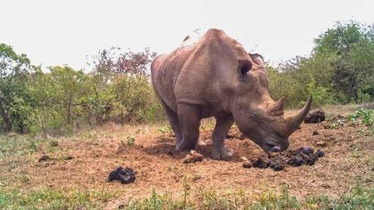 El Facebook de los rinocerontes: comunicarse a través de las heces