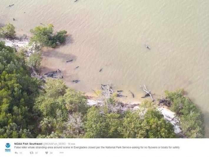 El area del varamiento de orcas negras en Everglades, Florida