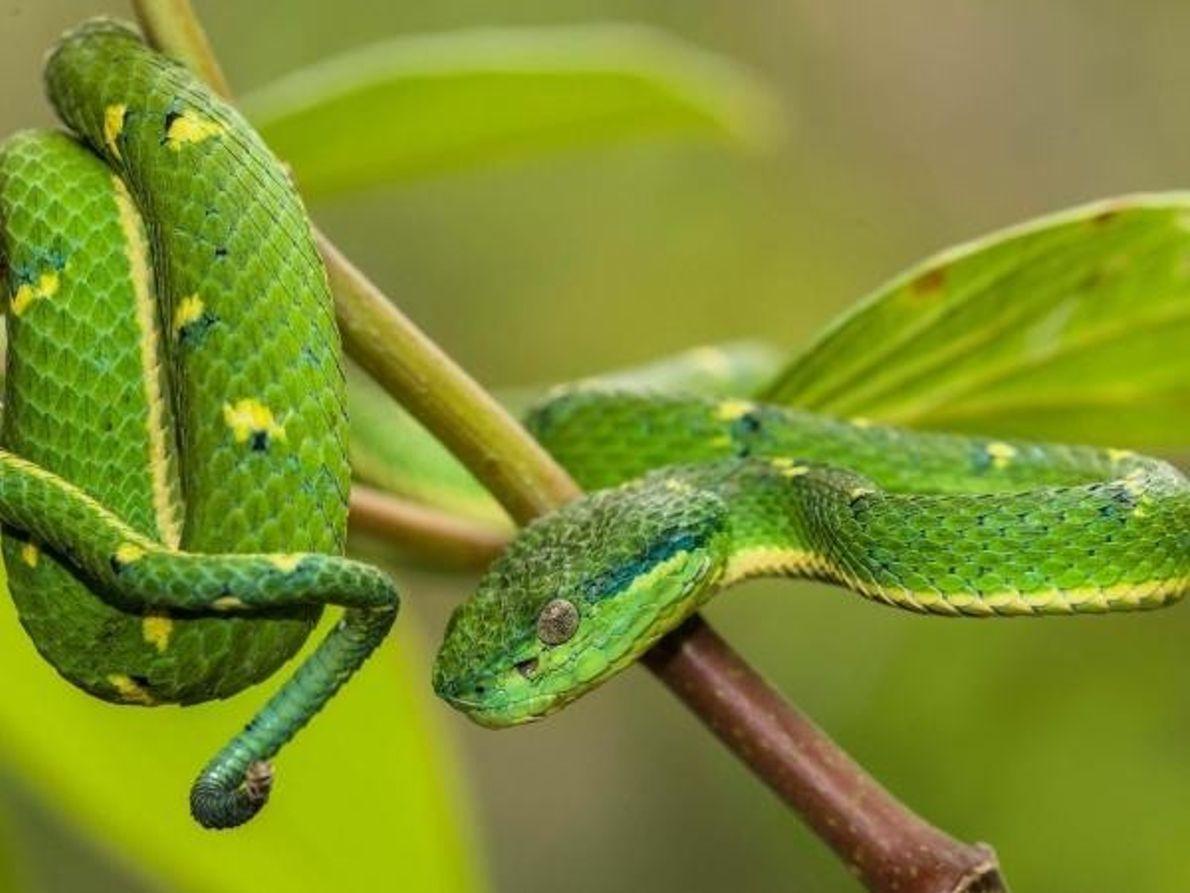 Víbora de palma verde