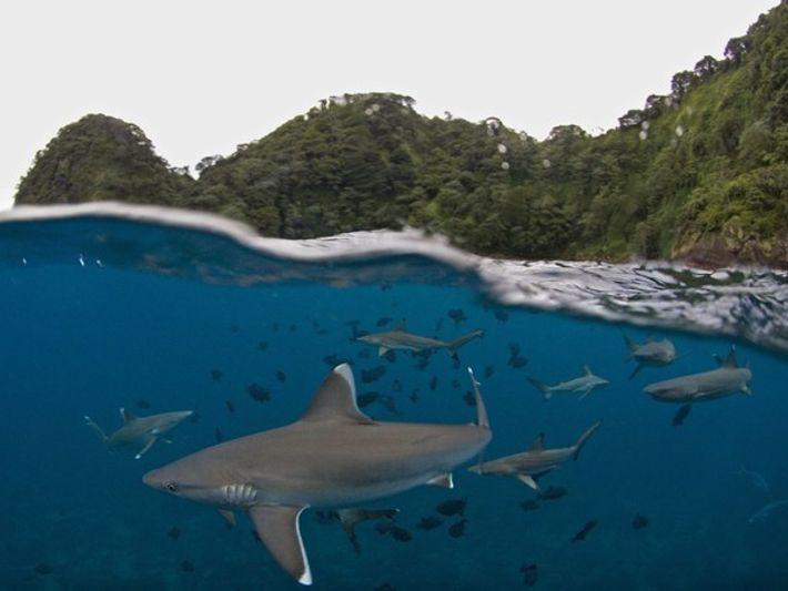 Tiburones nadando cerca de la Isla del Coco