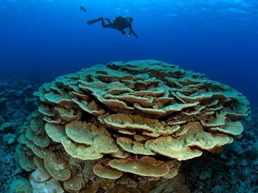 Estudiando el coral en el arrecife Kingman