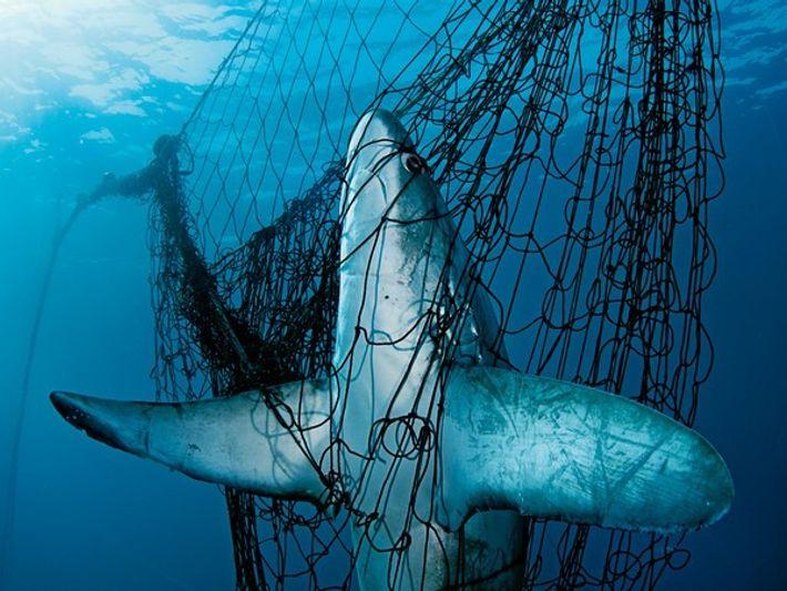 Tiburón zorro atrapado en una red, en México