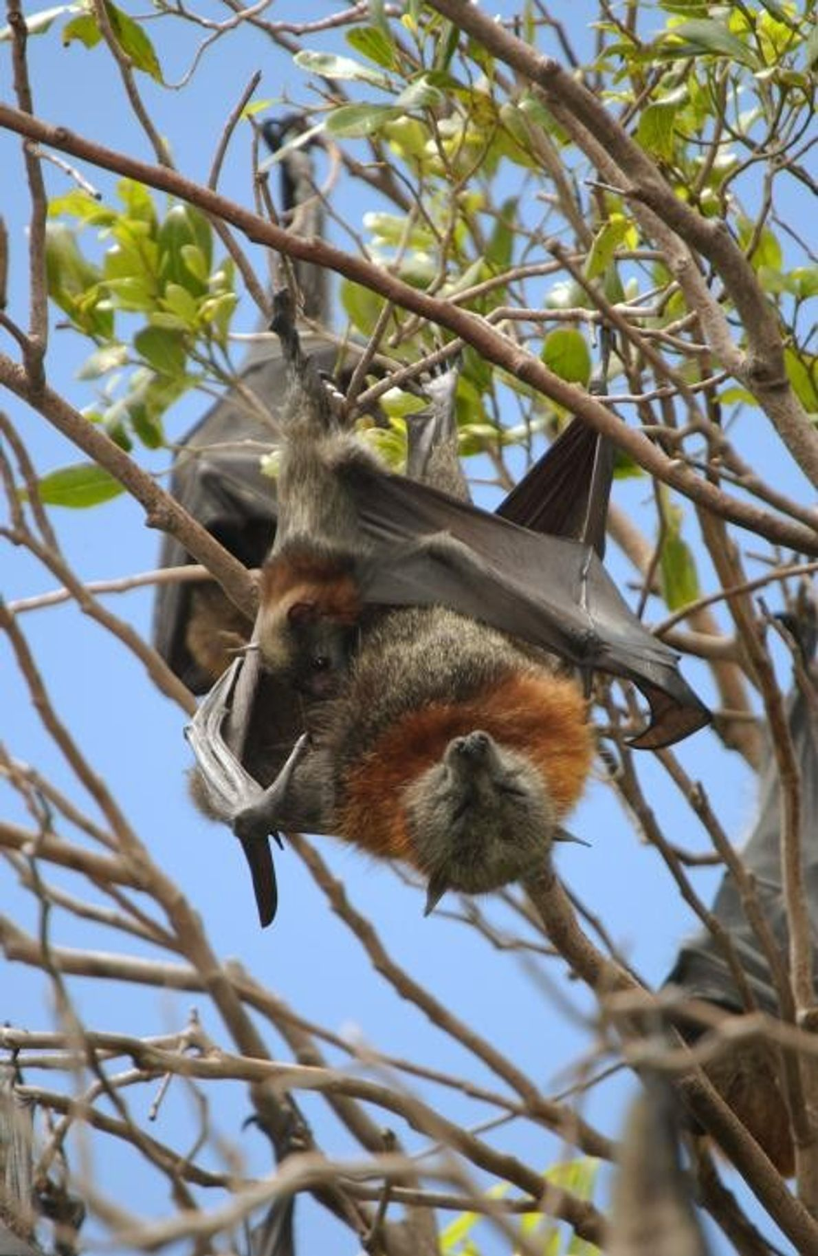 Murciélagos Pteropus poliocephalus