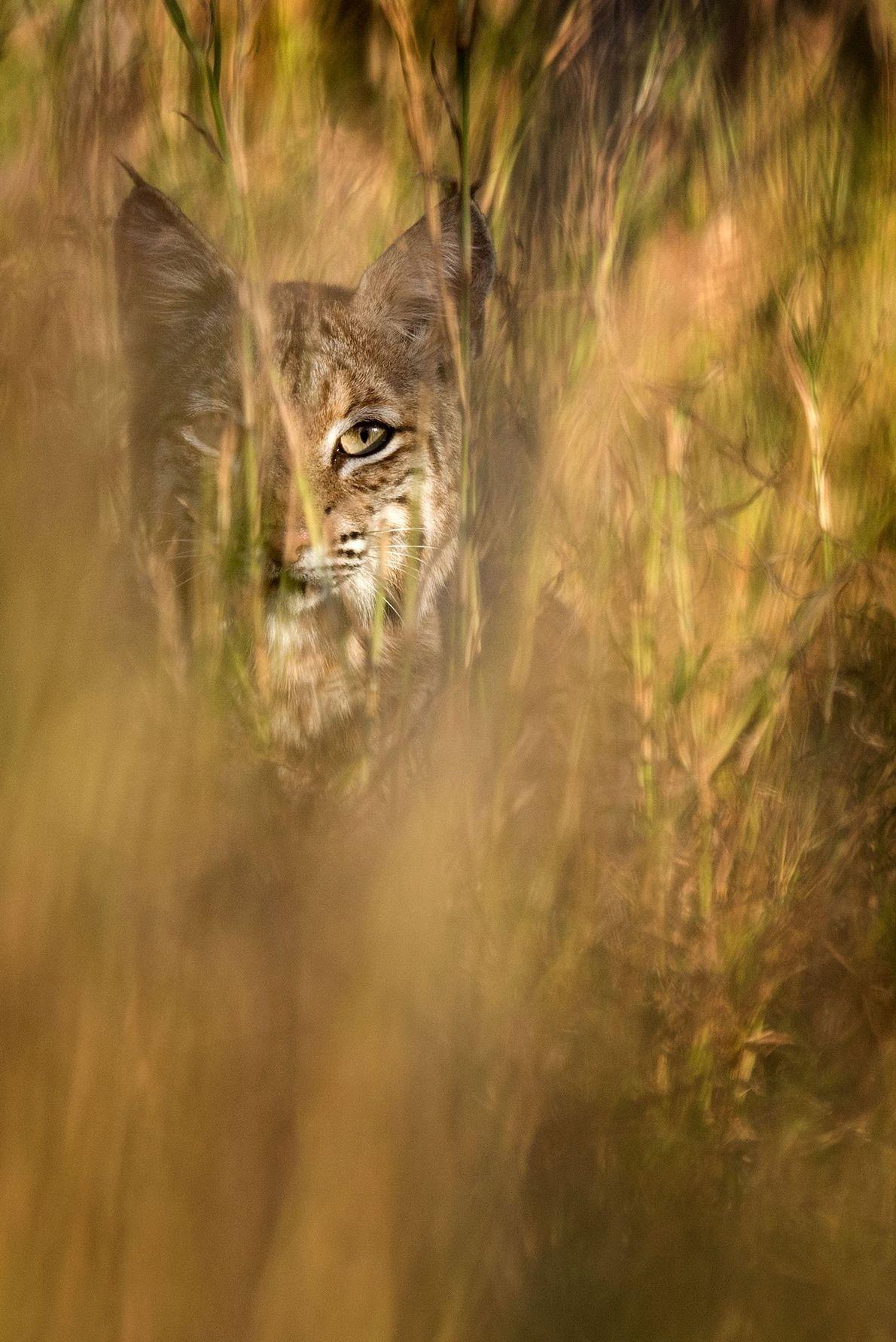 Bobcat. Laredo, Texas, United States