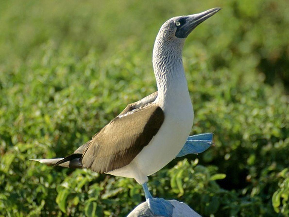 Pájaro bobo de patas azules