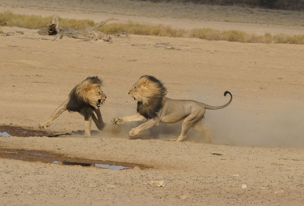Lions mix it up in Botswana.