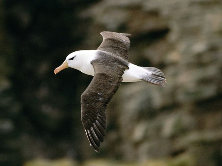 Albatros ojeroso