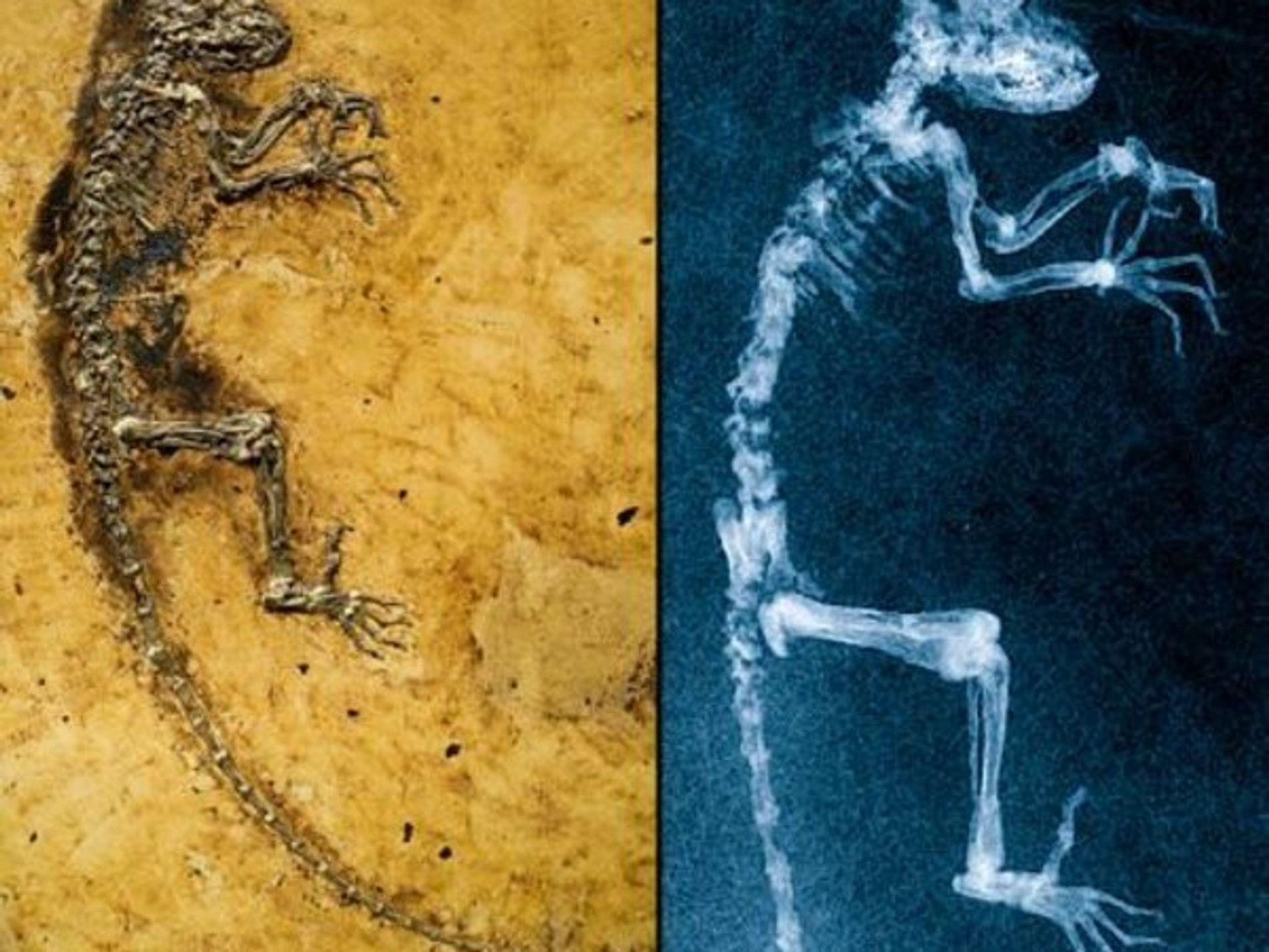 Fósil hallado recientemente vincula al ser humano con los lemures