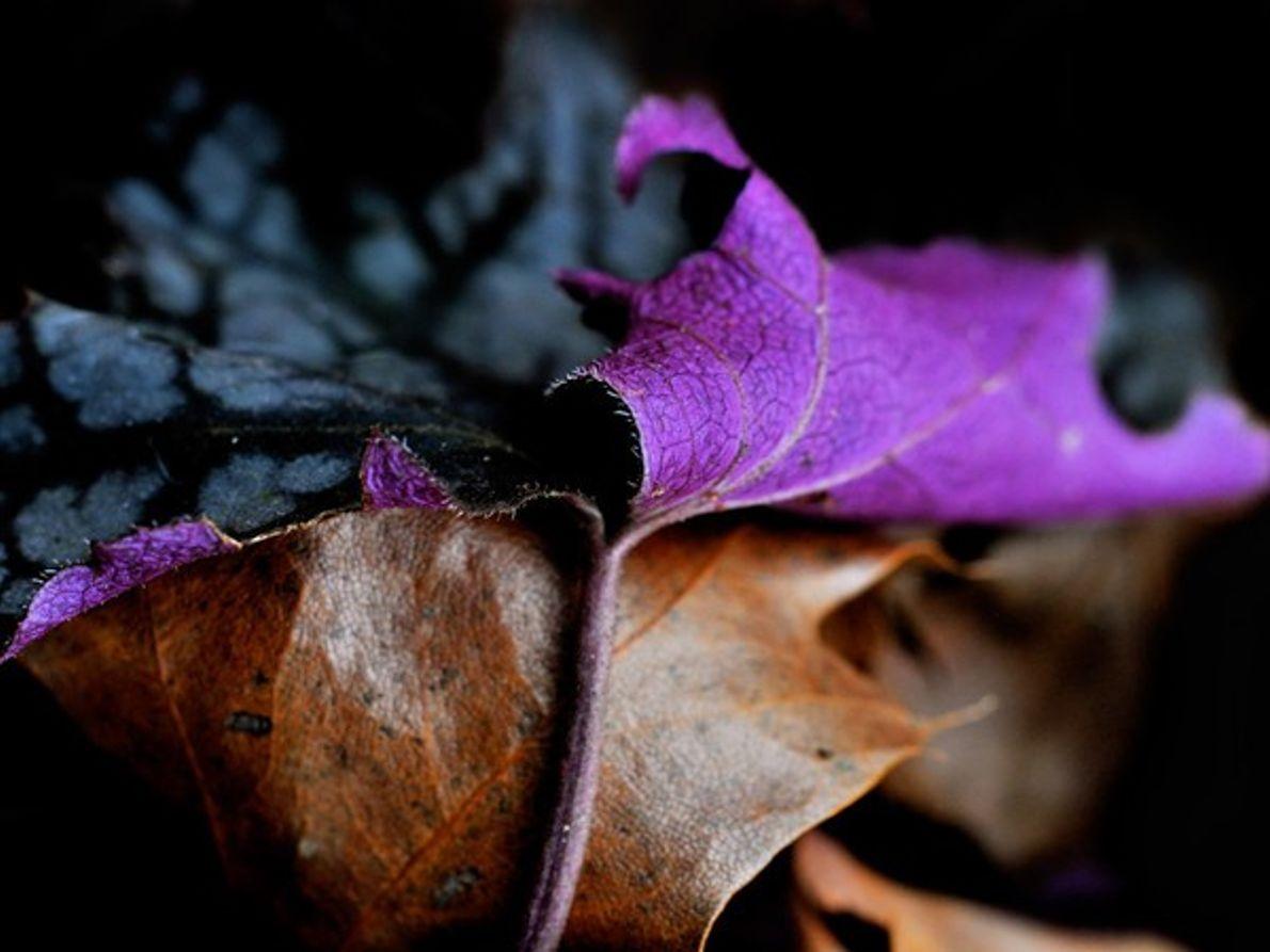 Hojas púrpura