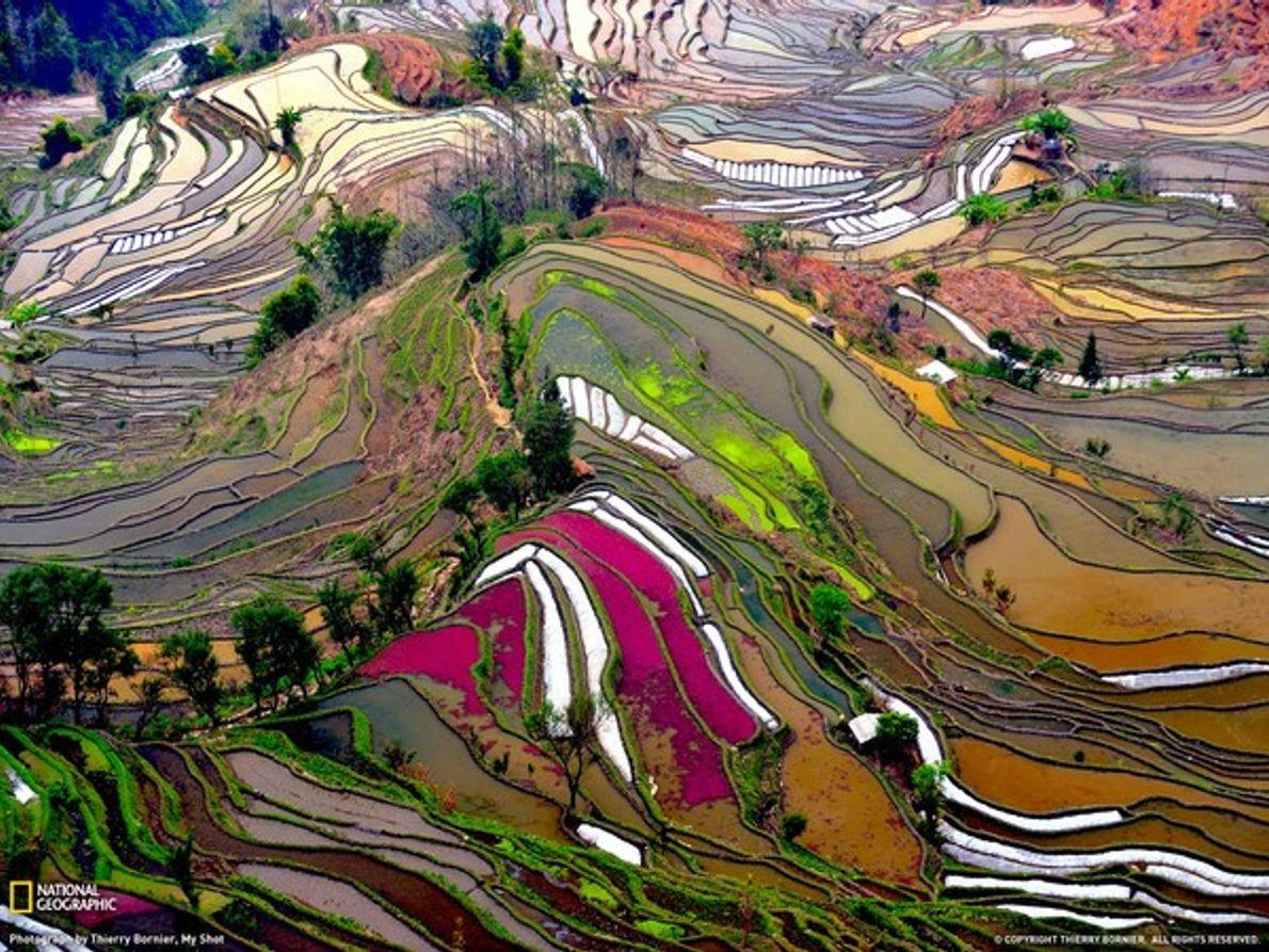 Campos de arrozales en China