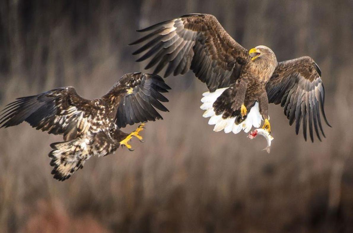 Un águila y su cría