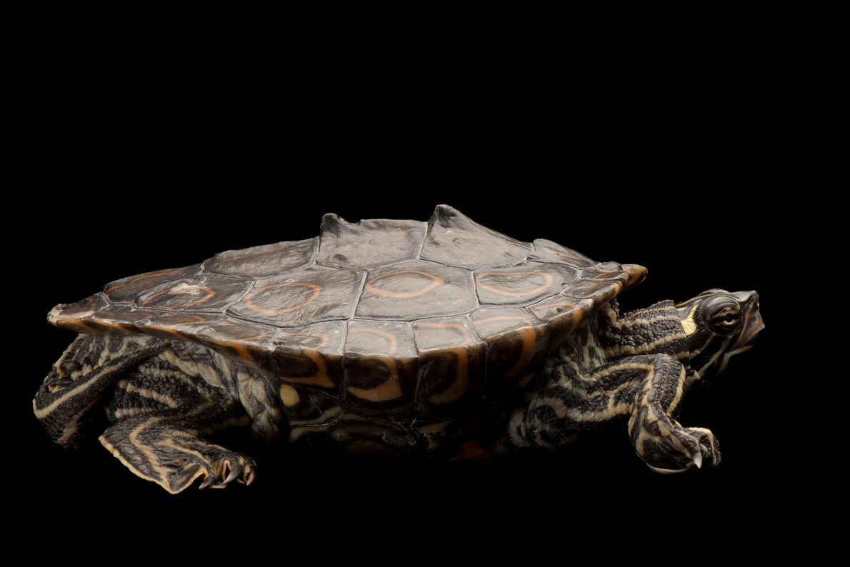 Una tortuga Graptemys oculifera