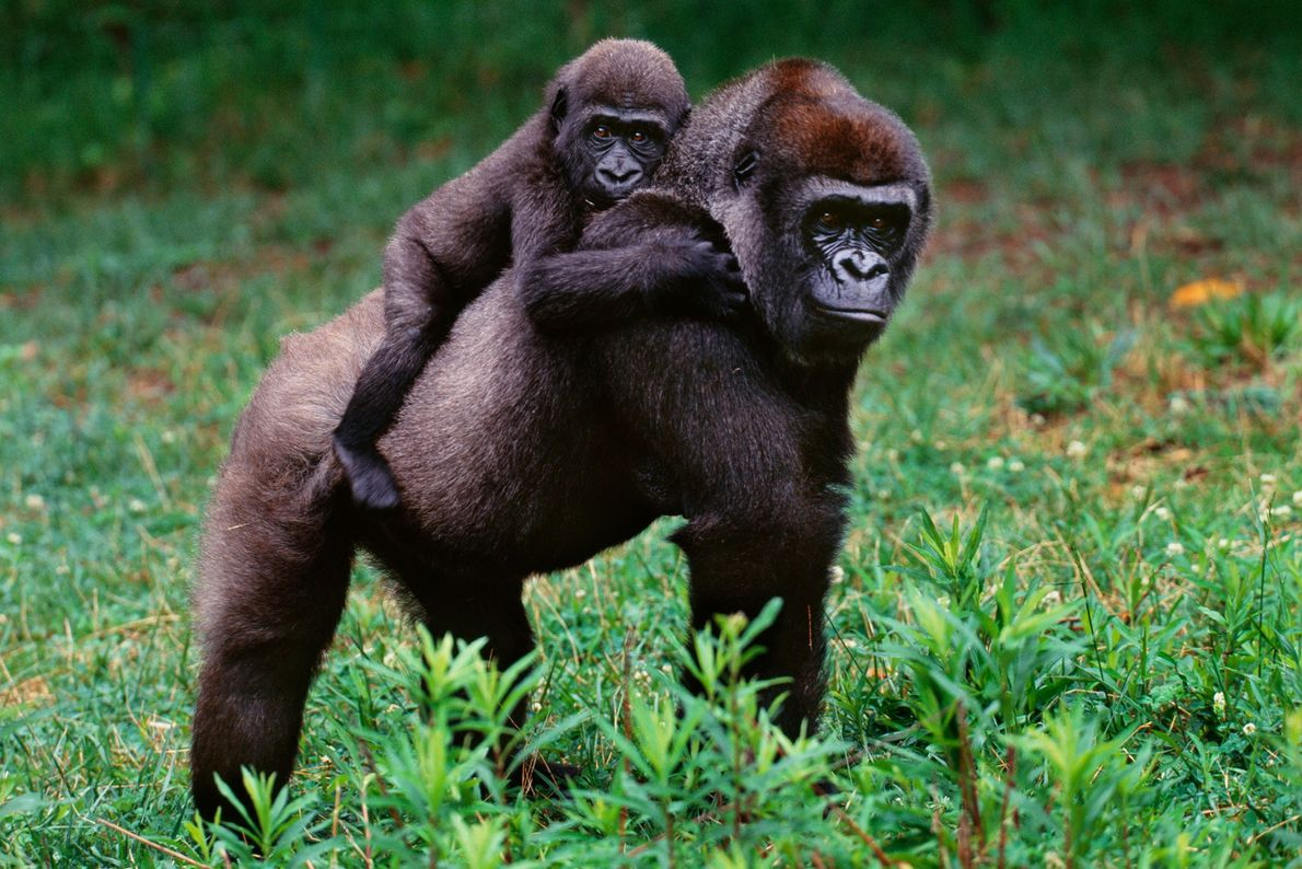Un gorila occidental de llanura
