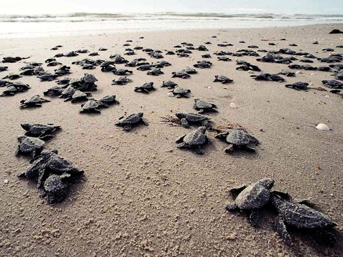 Grupo de tortugas golfinas